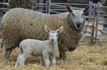 Before weaning, a lamb's cobalt requirement is supplied in full by milk