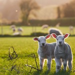 spring Lambs in countryside in the sunshine, brecon beacons nati