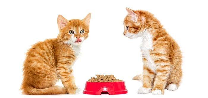 ginger kitten eating dry food