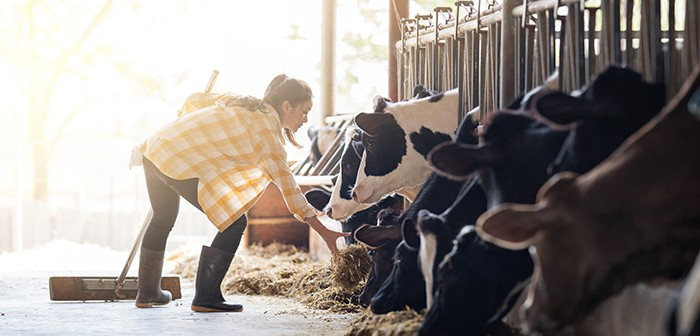 Farmer woman is feeding the cows. Cow eating grass