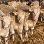 Fattening cattle