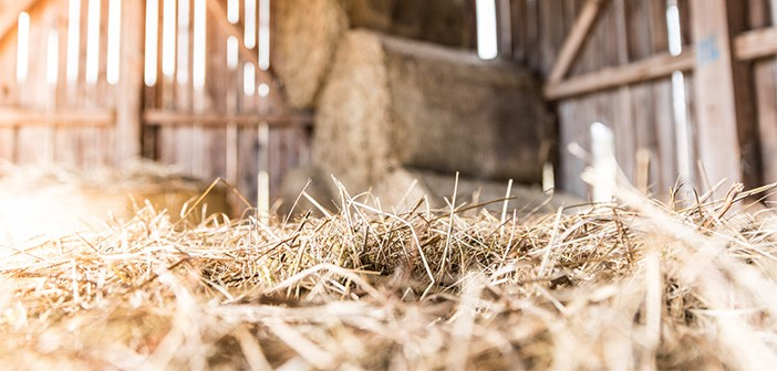 Farmers told to beware of rodents attacking precious straw stocks