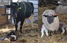Cow, calves, sheep and lambs