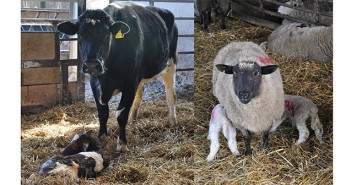 Cow, calves, sheep and lambs