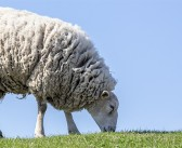 Communication key to constructing an effective sheep worm control plan