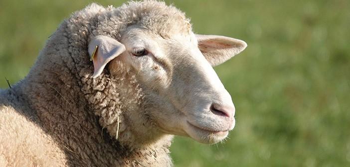 sheep-4673941_1280