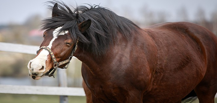 portrait of old draft mare horse shaking head in wooden paddock