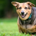 A severely overweight Welsh Corgi mixed breed dog with floppy ea