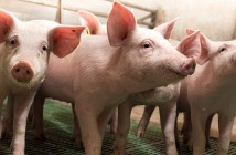 Piglets walking in barn
