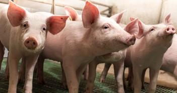 Piglets walking in barn