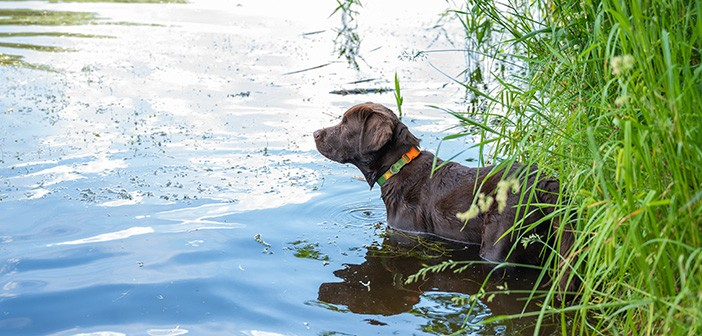 A young brown labrador puppy entered the water on the chest, sta