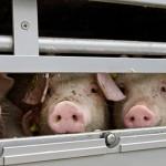 Pig transport. Piglets in truck. Animal welfare. Animal transpor